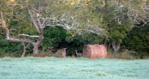 Round bales in autumn, with a couple of deer.