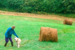 Pippin and I walk among the bales, which didn't sprout like mushrooms, but required an internal combustion engine and rather a lot of diesel, among other things.  (Rather out of focus through the kitchen window on a dim morning in 2006.)