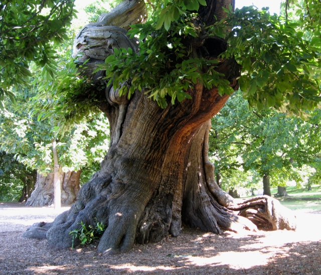 An ancient chestnut tree in the Royal Park at Greenwich. Treebeard was supposed to resemble a chestnut.