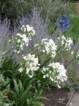 Agapanthus, blue and white, and Russian sage. I'd like to have some of the agapanthus but it isn't hardy here.
