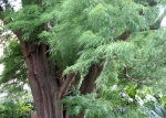 Bald cypress -- another tree with interesting foliage.