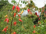 Rose hips shaped like chile-peppers.
