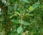 Cork oak leaves.