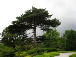 A classically-beautiful pine in the Japanese Garden, dark against the sky.