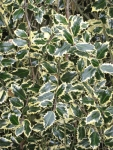 Variegated holly.